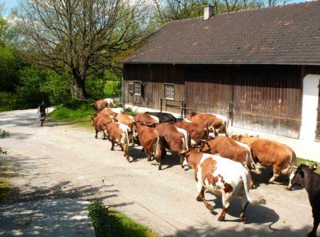 Pinzgauer kommen auf Weide 5