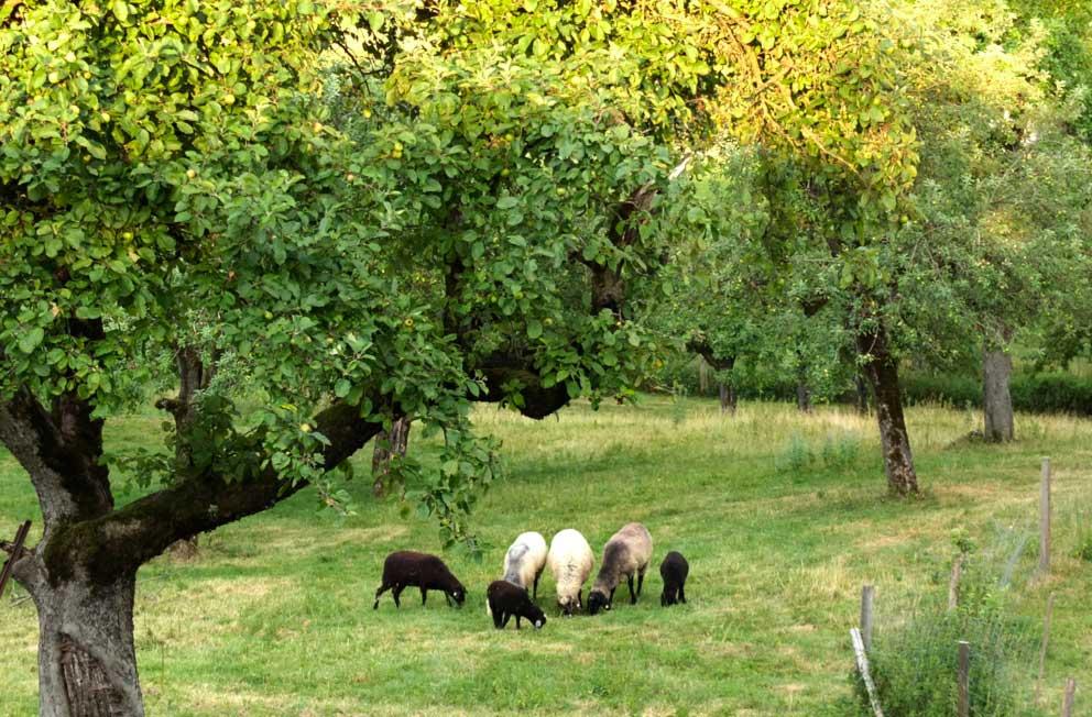 Schafe Im Mooseuracher Apfelgarten