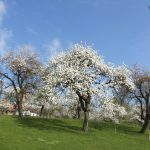 Apfelbluete in Mooseurach 2
