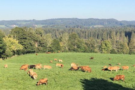 Murnau-Werdenfelser auf der Weide